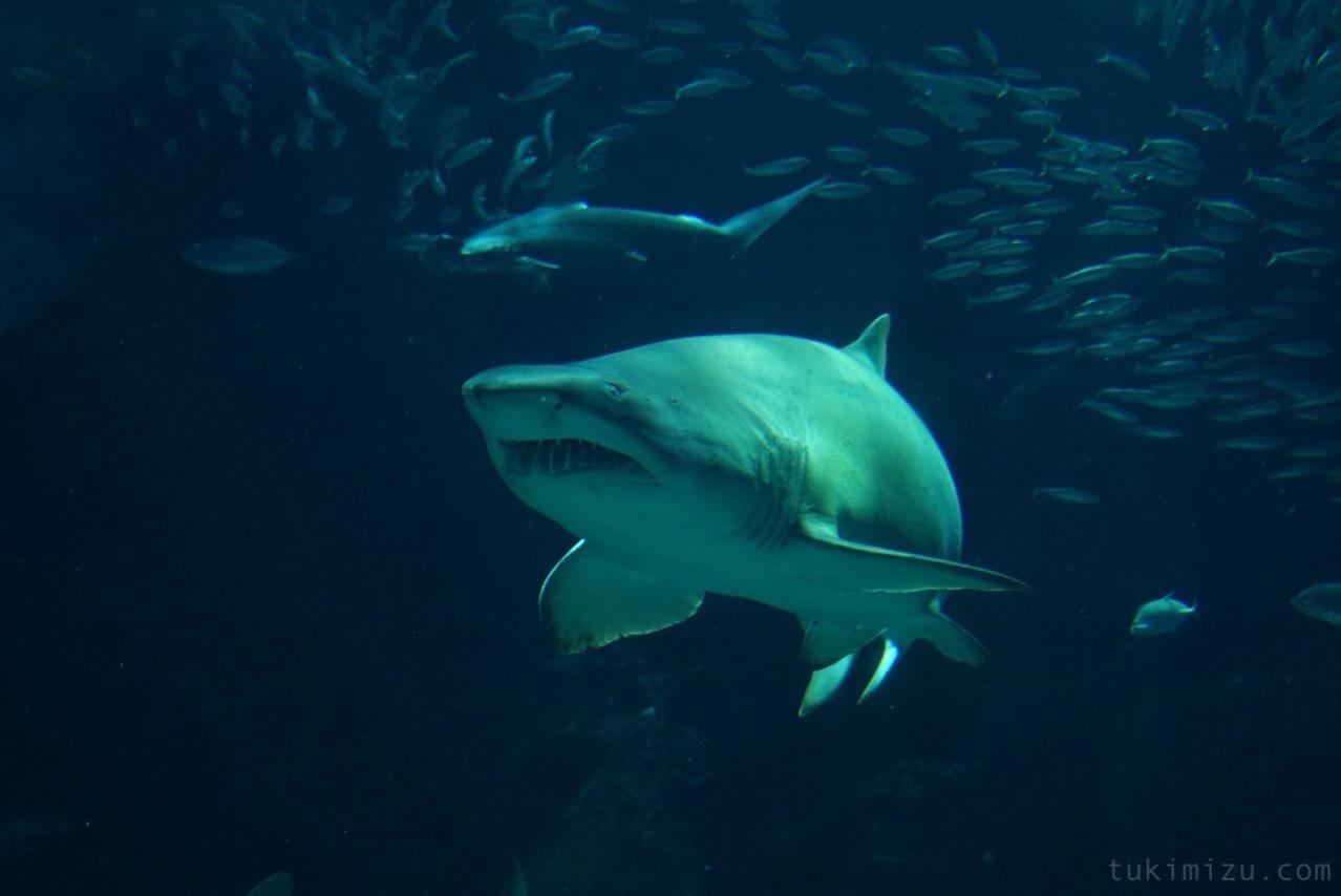 近づいて来るサメ